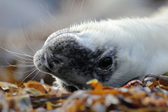 Upseal doon (Pog's pix) Tags: seal sealpup greyseal cute animal closeup upsidedown face eyes whiskers seaweed coastal marine marinemammal mammal white fur