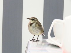 High Tea (Ilana Uys) Tags: capewagtail cape agulhas bird birding tea coffee shop table teapot cup homely tame white grey closeup