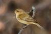 _F0A8231-Edited.jpg (Kico Lopez) Tags: galicia lugo miño mosquiterocomún phylloscopuscollybita spain aves birds rio