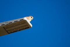 Hawk (Andrés) Tags: canon7dmarkii canon100400mm giran emporda costabrava santperopescador wildlife halcón hawk cernícalo