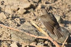 Spotted Flycatcher Bird @  Wadi Al Munaei Breaker, Ras Al Khaymah, UAE (Ma3eN) Tags: spotted flycatcher bird uae 2016 wadi almunaei rasalkhaimah