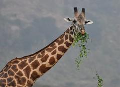 Giraffa camelopardalis tippelskirchi - Giraffe - Girafe des Masaï -  20/02/10 (Philippe_Boissel) Tags: giraffacamelopardalistippelskirchi giraffatippelskirchi giraffe girafedesmasaï girafe artiodactyla giraffidae mammals mammifère afrique kenya tsavo tsavoest 0014z