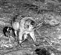 Singe-e (jeanraoulb) Tags: animaux kintzheim singe