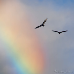 Beauty And The Beast (Explored) (Romair) Tags: rainbow vultures turkeyvultures cortemaderamarsh rogerjohnson