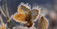 winter beauty (bugman11) Tags: winter ice crystal crystals flora nature canon macro bokeh haarlem nederland thenetherlands flower flowers thegalaxy infinitexposure platinumheartaward
