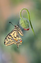 Primo sole (Raffaella Coreggioli ( fioregiallo)) Tags: nikon nikond7000 bokeh workshopmacro macro natura naturalistica fioregiallo2009 farfalle fioregiallo fotografia fiore foglie papiliomachaon papavero flora