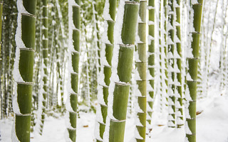 Snowy Bamboo Forest 雪化粧した竹林