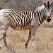 Plains Zebra (Equus quagga burchellii) showing the disappearance of stripes characteristic of the