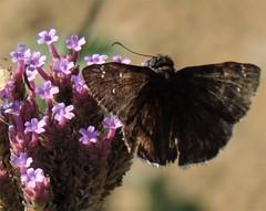 Funereal Duskywing Butterfly (E. funeralis), Davis Arboretum Aug '16 (Ruby 2417) Tags: funereal duskywing butterfly funeralis university california arboretum davis