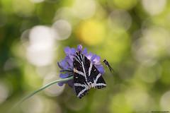 Non so che farfalla sia (maddalenasebellin) Tags: farfalle falena