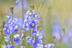 heliophila (snowshoe hare*) Tags: dsc0897 heliophila heliophilalongifolia bluebird flowers botanicalgarden ヘリオフィラ 海の中道海浜公園
