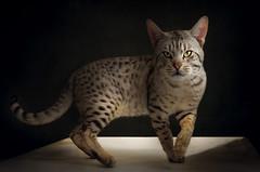 Ocicat (ellen-ow) Tags: haltern haustiere katzen katzenausstellunghaltern ocicat säugetiere tierausstellungen cat hauskatze rassekatze tier nikond5 ellenow