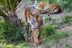 Joanne (ToddLahman) Tags: joanne sumatrantiger sandiegozoosafaripark safaripark canon7dmkii canon canon100400 tigers tiger tigertrail exhibita mammal female outdoors escondido
