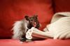 Churro (conradolson) Tags: hamster churro pet animal
