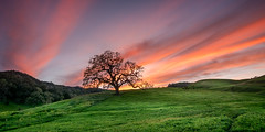 Sunset Over Solvang (Calpastor) Tags: travel landscape cloudscape clouds sky color orange red blue evening night goldenhour grass hills cattle ranch alisal field grazing tree trees oak oaks sunset sun california solvang coast coastline coastal