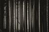 Leave it like that (JarleR) Tags: forest spruce pine tree park sepia monochrome silverefexpro canon jæren njå dark woods wood sticks trunks