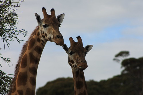 Giraffes at Monarto Zoo