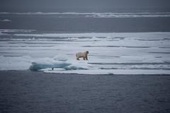 DSC_3491 (stacyjohnmack) Tags: july23 polarbear artic