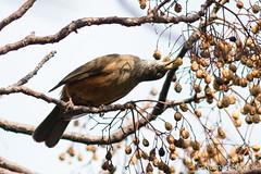 30082015-AR-2890 (nomad forever) Tags: bird ave pjaro zorzal