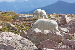 September 6, 2015 - A Mountain Goat Kid and adult on Mount Evans. (Bobby H)