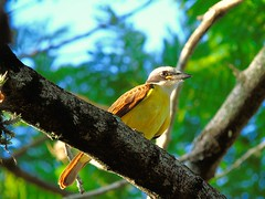 DSC00690 (VenilsonPereira) Tags: brazil tree verde green bird brasil branches amarelo arvore galhos passaro yallow