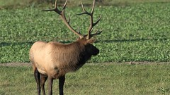 Bulging Elk 9 23 2015 (snooker2009) Tags: fall nature animal mammal wildlife bull elk bulging rut