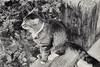 The Birdwatcher (oldnavychief 609) Tags: blackandwhite film cat nikonf5 epsonv700 arista200ultra