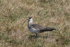 Parasitic Jaeger (Common Buzzard) Tags: birds scotland shetland seabirds foula parasiticjaeger skuas