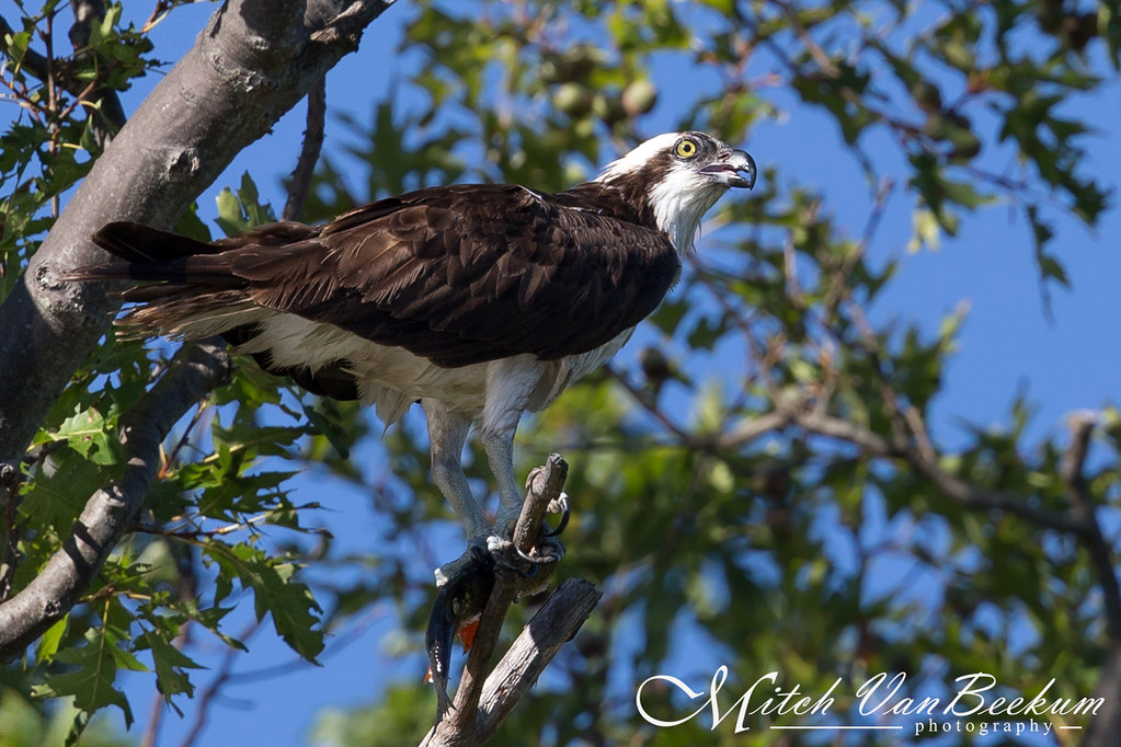 Right in my own backyard... (Osprey)