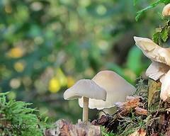 Bokeh (♥ Annieta  off/on) Tags: wood autumn oktober color colour mushroom netherlands canon bokeh herfst nederland powershot toadstool bos champignon allrightsreserved paddestoel 2015 coth annieta autonno beyondbokeh sx30is usingthisimagewithoutmypermissionisillegal
