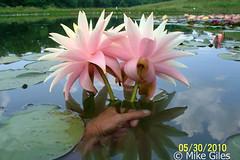 FairySkirt5 (Waterlelie.be) Tags: skirt fairy westvirginia nymphaea fairyskirt verenigdestatenvanamerika noordamerika mikegiles nymphaeafairyskirt