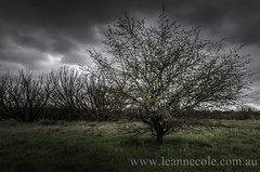 Tree on its Own (Leanne Cole) Tags: tree field river landscape nikon photographer photos images environment fineartphotography paddock landscapephotography kyneton campasperiver landscapephotographer environmentalphotography fineartphotographer environmentalphotographer leannecole leannecolephotography