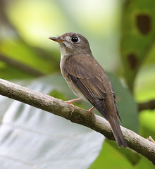 brown-breasted flycatcher (tareq uddin ahmed) Tags: forest ahmed bangladesh flycatcher chittagong uddin tareq muscicapa muscicapidae kaptai brownbreasted muttui muscicapamuttui
