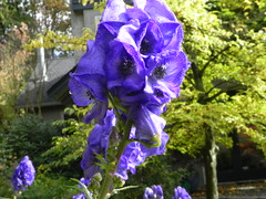 Aconitum carmichaelii 'Barker's Variety' (Safia girl) Tags: october september monkshood aconitum wolfsbane aconitumcarmichaeliibarkersvariety autumnaconitum chinesewolfsbane