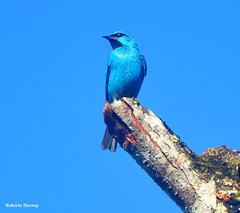 "BLUE OVER BLUE IS ""BLUETIFUL"" - Sara-azul-turquesa (Dacnis cayana) - Blue Dacnis (Roberto Harrop) Tags: birds aves pssaros aldeia bluedacnis dacniscayana sara robertoharrop blueoverblueisbluetefulsaraazulturquesa"