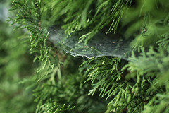 natures details (lydiafairy) Tags: tree green nature beautiful bench sweet web silk shelf catch delicate gossamer spidersweb spidersilk
