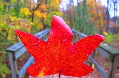 Fall's finest in New York today (AndrewDallos) Tags: new york city nyc november fall leaves manhattan