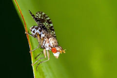 Fly in a Clown Suit - _TNY_5819 (Calle Söderberg) Tags: macro canon5dmkii canonef100mmf28usmmacro raynox dcr250 sciomyzidae trypetoptera punctulata marshfly kärrfluga fluga fly insect canon canoneos5dmarkii specinsect f27 5d2 diptera