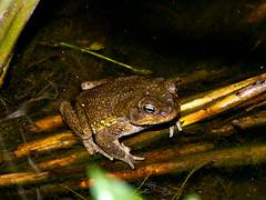 Cane toad (Eerika Schulz) Tags: marina ecuador frog toad frosch canetoad krte mindo rhinella