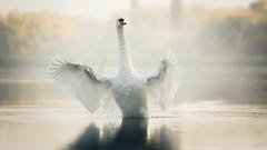Djole (Katarina Drezga) Tags: sunset sunlight lake bird birds animals swan wings outdoor wildlife serbia birding swans vojvodina srem nikond3100 nikkor55300mm4556gvr