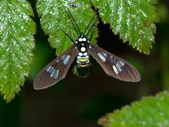 Motte (Eerika Schulz) Tags: mindo ecuador schmetterling falter motte butterfly moth eerika schulz