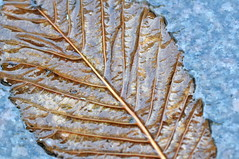 blött löv (ros-marie) Tags: fall wet leaf autum diagonal löv blött fotosondag fs151122