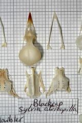 Blackcap (JRochester) Tags: skeleton skull bones bone pelvis sternum mandible blackcap atricapilla