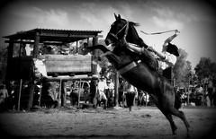 Alemo Vianna (Eduardo Amorim) Tags: brazil horses horse southamerica brasil criollo caballo cheval caballos cavalos pferde cavalli cavallo cavalo gauchos pferd riograndedosul pampa hest hevonen campanha brsil chevaux gaucho  amricadosul fronteira hst jaguaro gacho  amriquedusud  gachos  sudamrica suramrica amricadelsur  sdamerika crioulo caballoscriollos criollos jineteada   americadelsud gineteada  crioulos cavalocrioulo americameridionale caballocriollo eduardoamorim cavaloscrioulos