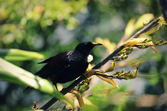 Tui (whitebear100) Tags: newzealand nz wellington northisland tui zelandia