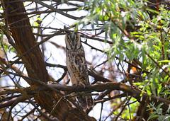 Long eared Owl (male) (Khanh B. Tran) Tags: