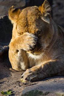 Lion_DSC_3062
