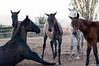 54/365 (Susana RC) Tags: naturaleza caballos animales 365 proyecto365 lesfranquesesdelvallès