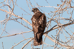 Watchful Red Tailed Hawk