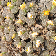 Lithops dorotheae. [C 124, South Africa, 15 km N of Pofadder, type locality] (2) (Succulents Love by Pasquale Ruocco (stabiae)) Tags: southafrica succulent lithops mesembryanthemum namibia mimicry succulents stabiae mimetismo piantegrasse aizoaceae succulente mesembryanthemaceae cactusco mesembs floweringstones sassifioriti pasqualeruocco mesembryanthema succulentslove forumcactusco